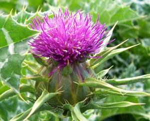 Milk thistle for liver health
